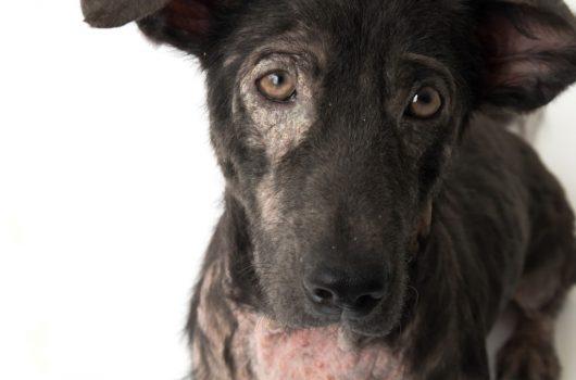 Hund mit leprosy skin problem